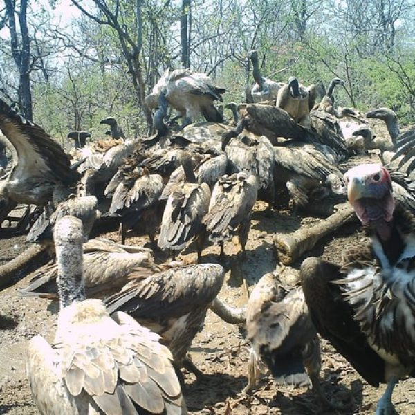 Vultures – nature's clean-up specialists!